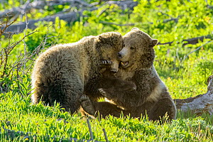 Grizzly bear (Ursus arctos horribilis) female and sub-adult cub play fighting. Yellowstone National Park, Wyoming, USA. June. - George  Sanker