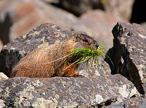 Yellow-bellied carmot (Marmota flaviventris) carrying grass in mouth, amongst rocks. Yellowstone National Park, Wyoming, USA. June.  -  George  Sanker