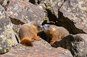 Yellow-bellied marmot (Marmota flaviventris) pups playing amongst rocks. Yellowstone National Park, Wyoming, USA. June.  -  George  Sanker