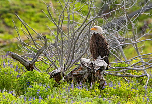 Bald eagle (Haliaeetus leucocephalus) perched on tree stump amongst Lupins (Lupinus sp). Yellowstone National Park, Wyoming, USA. June. - George  Sanker