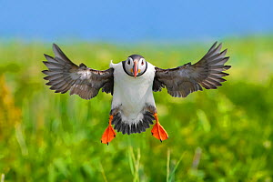 Atlantic puffin (Fratercula arctica) landing, wings outstretched. Machias Seal Island, off the coast of Maine, USA. July. This island is disputed between USA and Canada.  -  George  Sanker