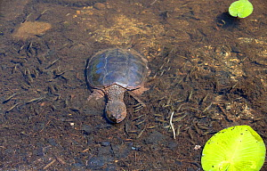 Common snapping turtle (Chelydra serpentina) on bottom of pond, view from above. Acadia National Park; Maine; USA. July.  -  George  Sanker