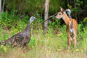White-tailed deer (Odocoileus virginianus) fawn face to face with Wild turkey (Meleagris gallopavo), in woodland clearing. Acadia National Park, Maine, USA. August. - George  Sanker