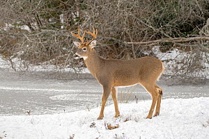 White-tailed deer (Odocoileus virginianus) buck standing in snow. Acadia National Park, Maine, USA. November. - George  Sanker