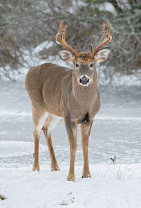 White-tailed deer (Odocoileus virginianus) buck standing in snow, portrait. Acadia National Park, Maine, USA. November. - George  Sanker