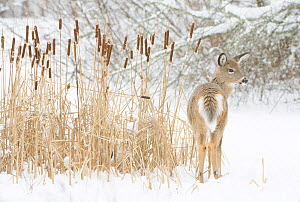 White-tailed deer (Odocoileus virginianus) fawn standing beside Bulrushes (Typha sp) on snow-covered pond. Acadia National Park, Maine, USA. December. - George  Sanker