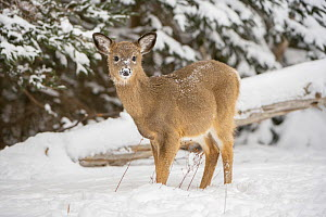 White-tailed deer (Odocoileus virginianus) fawn standing in snow. Acadia National Park, Maine, USA. January. - George  Sanker