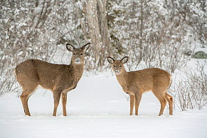 White-tailed deer (Odocoileus virginianus) doe and fawn standing on snow covered pond. Acadia National Park, Maine, USA. January. - George  Sanker