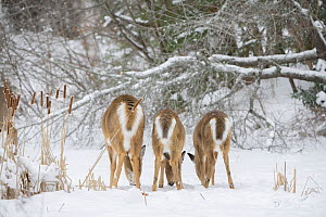 White-tailed deer (Odocoileus virginianus), doe and fawns feeding in a row on snow covered pond, rear view. Acadia National Park, Maine, USA. January. - George  Sanker
