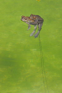 Sonoran desert toad (Incilius alvarius) pair mating, with trail of spawn in water. Arizona, USA.  -  John Cancalosi