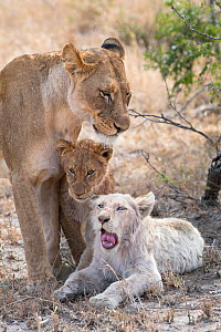Lion (Panthera leo) female and cubs, one cubs a leucistic white male. Greater Kruger National Park, South Africa. - Ben  Cranke