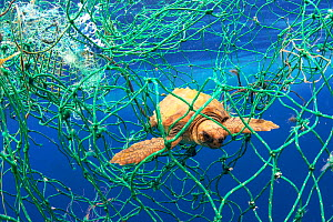 Loggerhead turtle (Caretta caretta) young animal tangled in fishing net. Tenerife, Canary Islands. 2019.  -  Sergio Hanquet