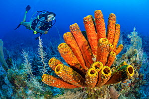 Yellow tube sponge (Aplysina fistularis) on coral reef, diver exploring in background. Black Rock Drop Off, East End, Grand Cayman, Cayman Islands, British West Indies. Model released. - Alex Mustard