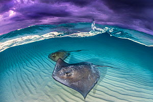 Southern stingray (Dasyatis americana) two swimming over sand bar, under stormy sky. Grand Cayman, Cayman Islands. British West Indies.  -  Alex Mustard