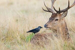 Jackdaw (Corvus monedula) searching for ticks on Red deer (Cervus elaphus) stag resting in grassland. - Edwin Giesbers