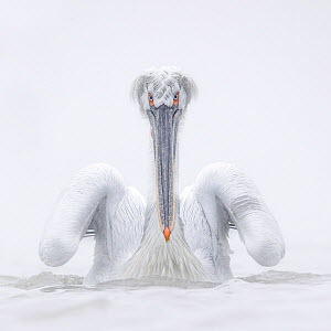 Dalmatian pelican (Pelecanus crispus), portrait. Lake Kerkini, Sintik, Greece. January.  -  Guy Edwardes