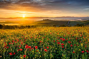 Field of flowering Poppies (Papaver rhoeas) at sunrise,   Val d'Orcia, Tuscany, Italy. May 2019.  -  Guy Edwardes