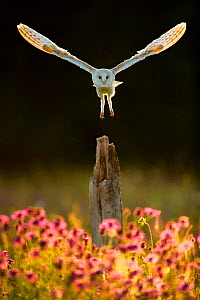 Barn owl (Tyto alba) in flight above post and wildflowers, in morning light. The Hawk Conservancy Trust, Hampshire, England, UK. July. Captive.  -  Guy Edwardes