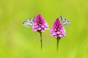 Marbled white (Melanagria galathea), two butterflies on Pyramidal orchid (Anacamptis pyramidalis). Badbury Rings, Wimborne Minster, Dorset, England, UK. June.  -  Guy Edwardes