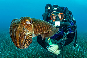 Common cuttlefish (Sepia officinalis) above seabed with  diver observing it,. Vis Island, Croatia. 2019. - Franco  Banfi