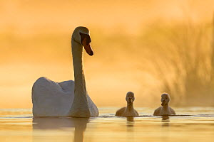 Mute swan (Cygnus olor) swimming with cygnets in misty lake in morning light. Richmond Park, London, England, UK. May. - Oscar Dewhurst