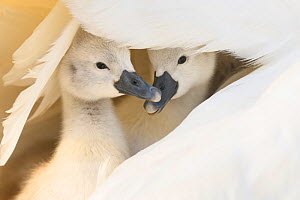 Mute swan (Cygnus olor), two cygnets sheltering under parent's wing. Richmond Park, London, England, UK. April.  -  Oscar Dewhurst