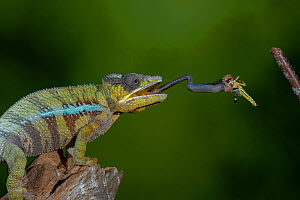 Panther chameleon (Furcifer pardalis) catching Locust with tongue. Controlled conditions. Sequence 2 of 4.  -  Adrian Davies