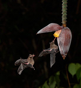Leaf-nosed bat (Phyllostomidae sp) nectaring on Banana (Musa sp) flower. Costa Rica. Digital composite.  -  Adrian Davies