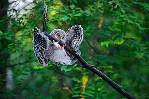 Ural owl (Strix uralensis) fledgling trying to get back onto branch after losing balance. Owlet's first day out of nest. Tartumaa County, Southern Estonia. June. - Sven  Zacek
