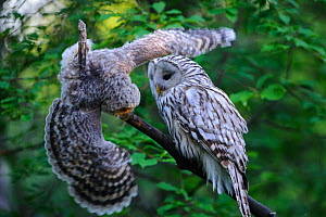 Ural owl (Strix uralensis) female watching fledgling attempting to balance on branch. Owlet's first day out of nest. Tartumaa County, Southern Estonia. June. - Sven  Zacek