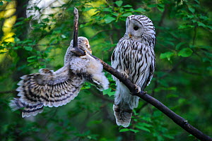 Ural owl (Strix uralensis) female watching fledgling learning to climb and balance on branch. Owlet's first day out of nest. Tartumaa County, Southern Estonia. June.  -  Sven  Zacek