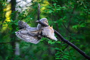 Ural owl (Strix uralensis) fledgling attempting to balance on branch using beak, talons and wings, owlets' first day out of nest. Tartumaa County, Southern Estonia. June. - Sven  Zacek