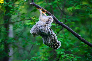 Ural owl (Strix uralensis) fledgling hanging upside down from branch after losing balance, owlets' first day out of nest. Tartumaa County, Southern Estonia. June. - Sven  Zacek