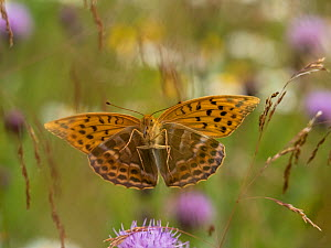 Silver-washed fritillary butterfly (Argynnis paphia) Akershus, Norway, July. - Pal Hermansen