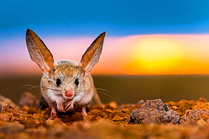 Long-eared jerboa (Euchoreutes naso) at sunrise. Gobi Desert, Mongolia.  -  Klein & Hubert