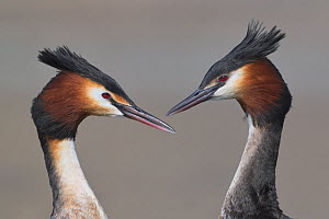 Australasian crested grebe (Podiceps cristatus australis) pair in courtship display, portrait. Lake Camp, Ashburton Lakes, Canterbury, New Zealand. August.  -  Andy Trowbridge