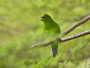 Yellow-crowned parakeet (Cyanoramphus auriceps) perched on branch. Arthur's Pass National Park, Southern Alps, New Zealand. September.  -  Andy Trowbridge