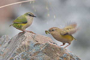 New Zealand rock wren (Xenicus gilviventris) pair perched on rock, female with caterpillar in beak presented to her by male in courtship. Arthur's Pass National Park, Southern Alps, New Zealand. O...  -  Andy Trowbridge