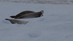 Crabeater seals (Lobodon carcinophagus) on an ice floe, Antarctica.  -  Fred  Olivier