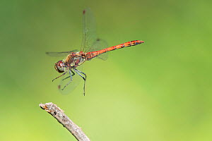 Vagrant darter (Sympetrum vulgatum) male landing on stem. Brasschaat, Belgium. September. - Bernard Castelein