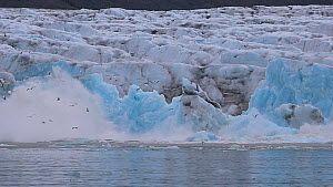 Glacier calving, with many Kittiwakes (Rissa tridactyla) flying, Magdalena Fjord, Svalbard, Norway.  -  Fred  Olivier