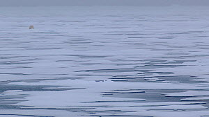 Wide angle shot of a Polar bear (Ursus maritimus) walking on melting pack ice, Svalbard, Norway, 2016.  -  Fred  Olivier