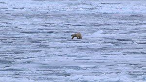 Polar bear (Ursus maritimus) walking on melting pack ice, Svalbard, Norway.  -  Fred  Olivier