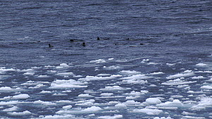 Group of Greenland seals (Pagophilus groenlandicus) swimming along ice edge, Svalbard, Norway. - Fred  Olivier