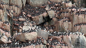Brunnich's guillemot (Uria lomvia) nesting on cliff ledges, Alkefjellet, Svalbard, Norway.  -  Fred  Olivier