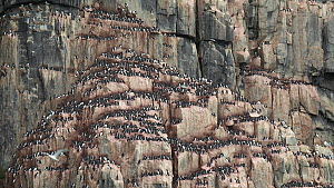 Tracking shot of a Brunnich's guillemot (Uria lomvia) breeding colony, nesting on cliff ledges, Alkefjellet, Svalbard, Norway. - Fred  Olivier