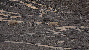 Polar bear (Ursus maritimus) and juvenile walking along the shores of Liefdefjorden, Svalbard, Norway.  -  Fred  Olivier