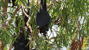 Black flying foxes (Pteropus alecto) interactng in a tree, venting, Ord river, Kimberley, Western Australia, Australia.  -  Fred  Olivier