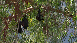 Three Black flying foxes (Pteropus alecto) venting in a tree, Ord river, Kimberley, Western Australia, Australia.  -  Fred  Olivier