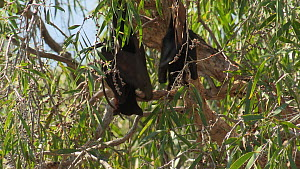 Two Black flying foxes (Pteropus alecto) venting in a tree, Ord river, Kimberley, Western Australia, Australia.  -  Fred  Olivier